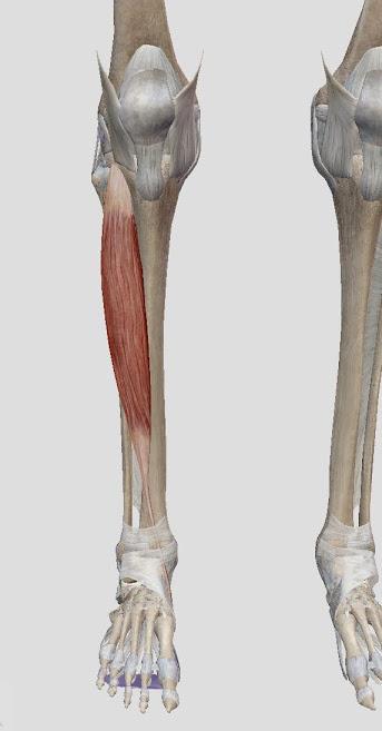 高齢者も・高齢になる方も!こちらも転倒予防に大事、前脛骨筋の鍛え方